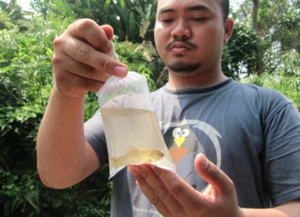 Ikan beunteur. Foto: Konservasi DAS Ciliwung