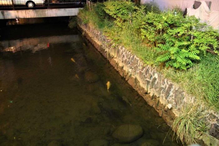 Ikan koi di Jepang hidupnya bahagia karena bisa berenang dengan sehat sekalipun di selokan