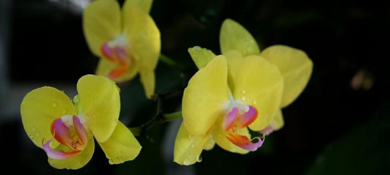 Bunga anggrek bulan (phalaenopsis amabilis) yang bahasa Indonesia disebut Puspa Pesona mekar sempurna di depan rumah.